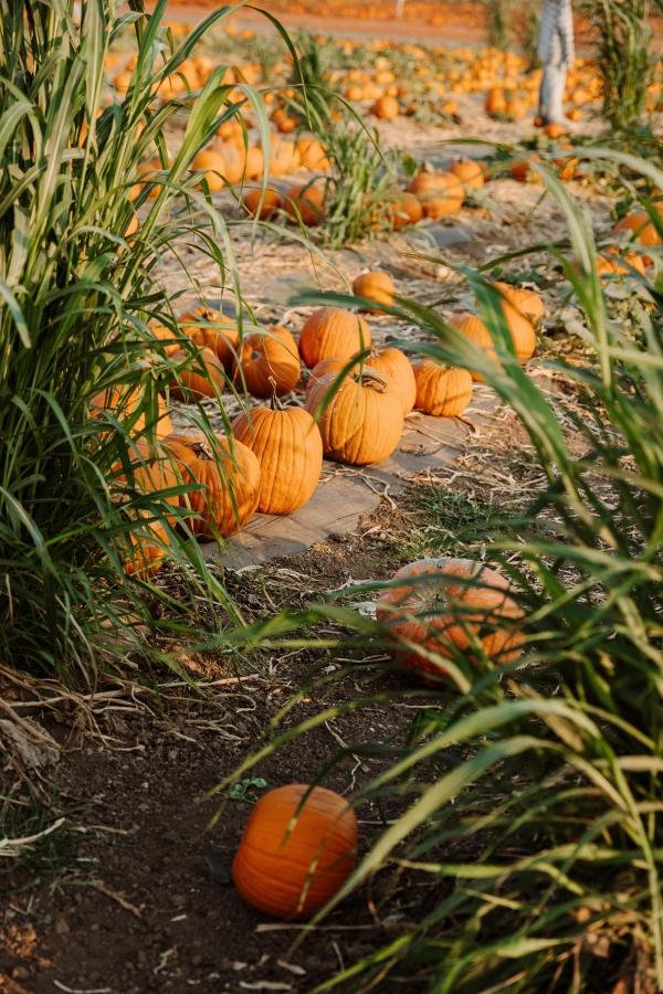 Pumpkin Patch Photo shoot at Tanaka Farms