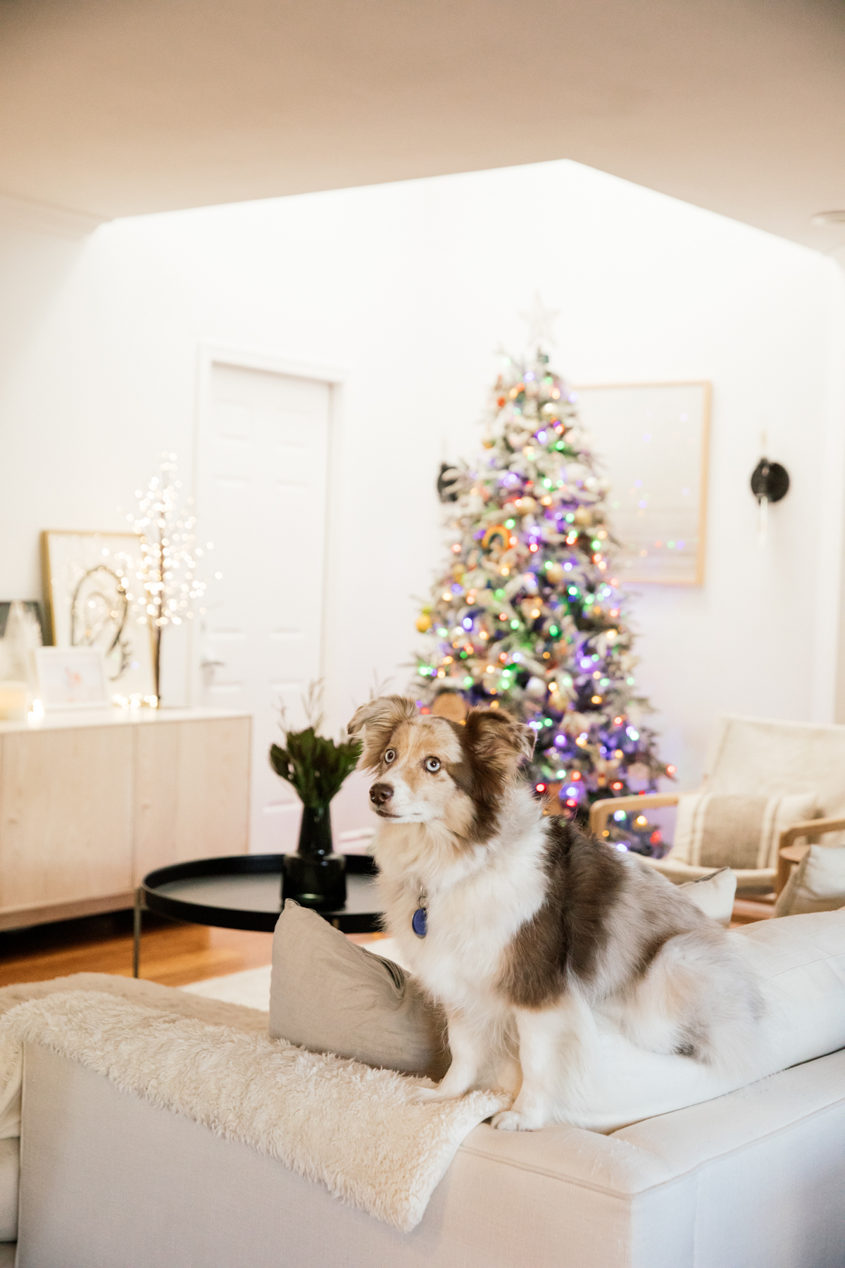Indoor Holiday decor of Christmas Tree with Mini Australian Shepherd Dog