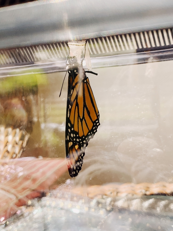 Monarch butterfly at Alisal Guest Ranch and Resort